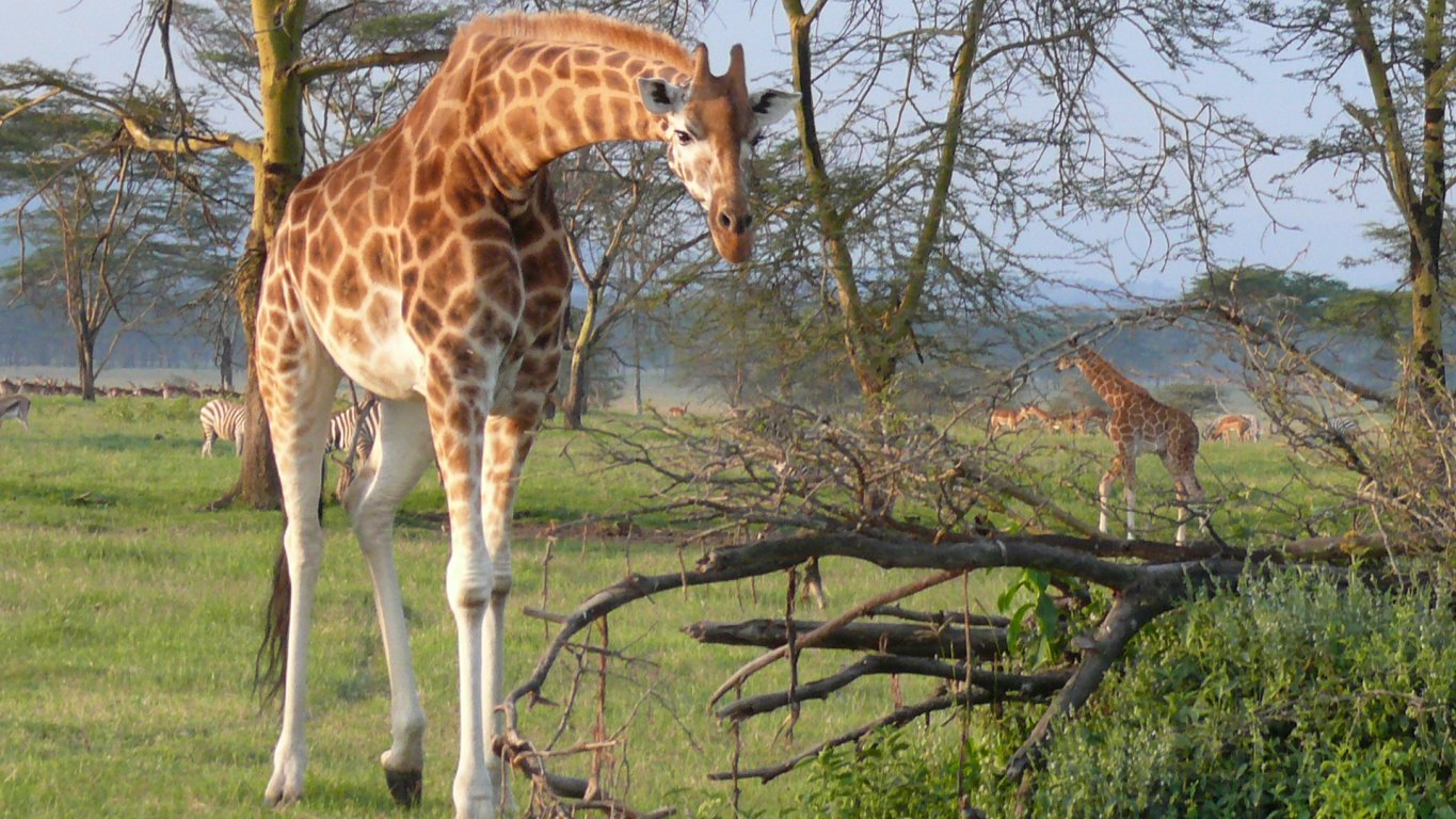 Lake Nakuru giraffe safari
