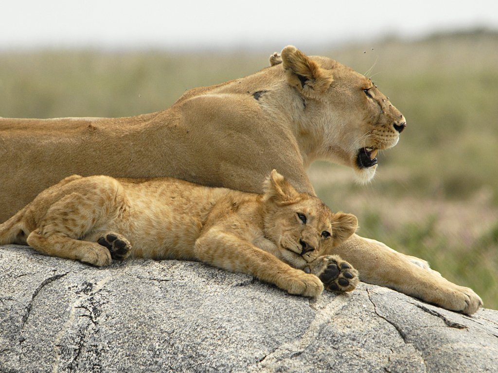 Seronera Serengeti A Lioness With Its Cub