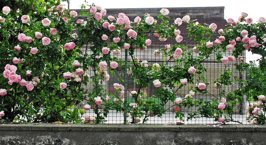 Commessaggio: rose - Rose Pierre de Ronsard creata nel 1987 da