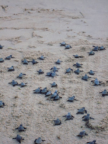 Praia do forte una folta schiera di piccole tartarughe for Tartarughe appena nate