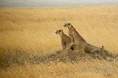 Serengeti: ghepardi