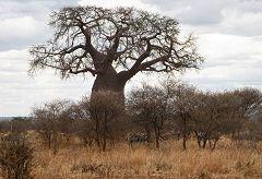 Tarangire: zebre e baobab