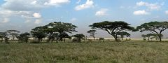 Serengeti: acacie