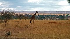 Tarangire: giraffa