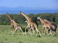 Giraffes at Crescent Island (Lake Naivasha)