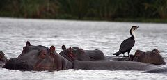 Hippos at Lake Naivasha