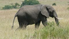 Elelephant in Masai Mara