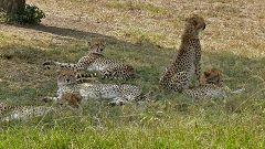Cheetah's family