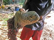 João Vieira: tartaruga