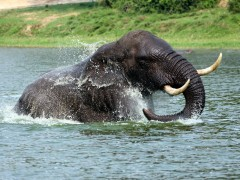 Elephant at Kazinga Channel