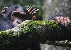 Forest chimpanzee