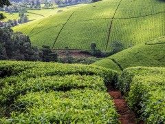 Limuru tea fields