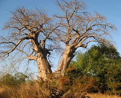 Doppio baobab