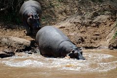 Hippos at Mara River