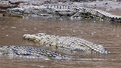 Crocodiles at Mara River