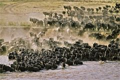 Wildebeest at Mara River