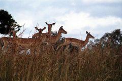 Impala at Mikumi National Park