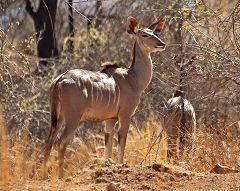 Greater Kudu at Mikumi