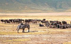 Ngorongoro: gnu