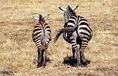 Ngorongoro: zebre