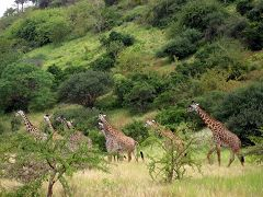 Giraffes at Tsavo West