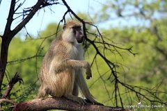 Yellow Baboon at Ruaha