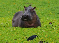 Hippo grazing at the swamplands