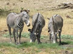 Gravy zebra