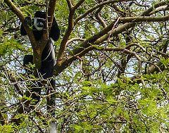 Guereza (scimmia)