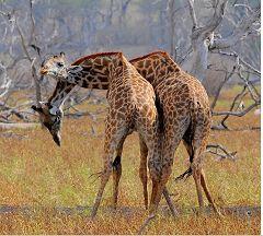 Giraffes at Selous Game Reserve