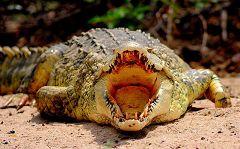 Crocodile at Selous Game Reserve
