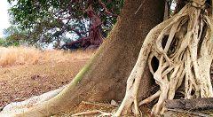 Pays Bassaris: alberi