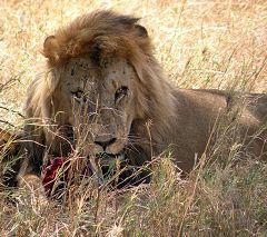 Serengeti: leone