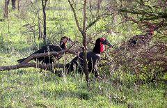 Serengeti: bucorvus