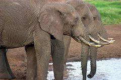 Treetops, Elephants