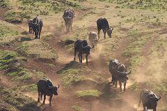 Buffalos at Treetops