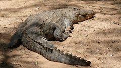 Crocodile at Uaso river