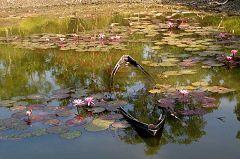 Sundarbans: ninfee