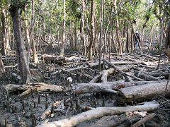 Sundarbans: radici