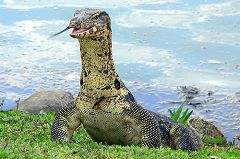 Lumpini Park, Monitor Lizard