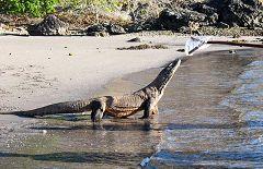 Pulau Nusakode: varani