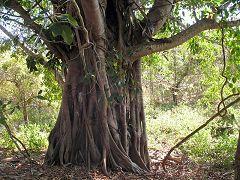 Pulau Rinja: vegetazione