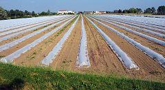 Squarzanella: coltivazione
