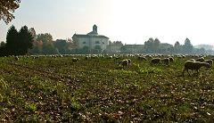 Lodi e pecore