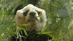 Il Panda gigante