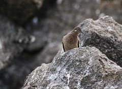 Baia di Darwin: colomba