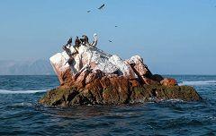 Isole Ballestas: gabbiani e pellicano