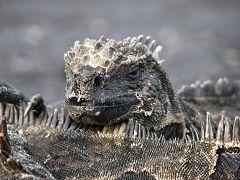 Iguana Marino
