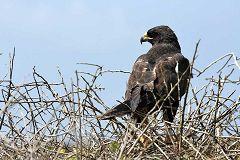 Española: falco