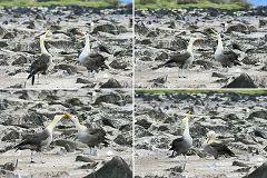 Española: albatros